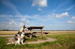 Cucciolo del husky con la tabella Immagine Stock