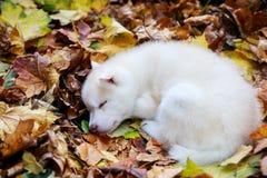 Cucciolo del husky di sonno immagini stock libere da diritti