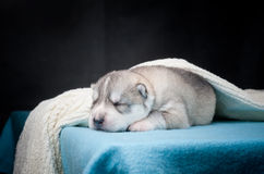 Cucciolo del husky di sonno Fotografie Stock Libere da Diritti