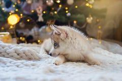 Cucciolo del husky, nuovo anno Fotografie Stock Libere da Diritti
