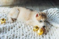 Cucciolo del husky, nuovo anno Fotografie Stock