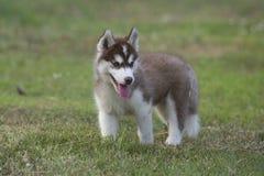 Cucciolo del husky siberiano fotografie stock libere da diritti