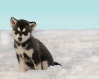 Cucciolo del husky sulla neve Fotografie Stock