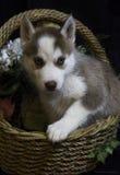 Cucciolo del husky in un canestro del fiore Fotografia Stock Libera da Diritti