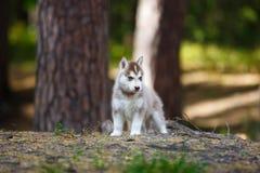 Cucciolo del husky in una foresta immagine stock libera da diritti