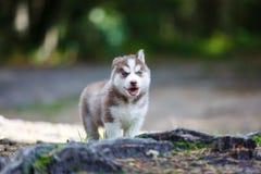 Cucciolo del husky in una foresta fotografia stock libera da diritti