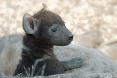 Cucciolo del Hyena Immagini Stock Libere da Diritti