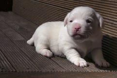 Cucciolo del Jack Russel Fotografia Stock