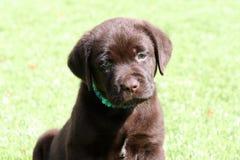 Cucciolo del laboratorio del cioccolato che si siede sull'erba Fotografia Stock