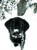 Cucciolo del laboratorio sul guinzaglio Fotografie Stock