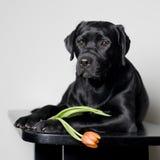Cucciolo del Labrador con il fiore del tulipano Fotografia Stock Libera da Diritti