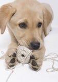 Cucciolo del Labrador con la corda Fotografia Stock Libera da Diritti