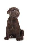 Cucciolo del Labrador del cioccolato Fotografia Stock