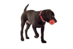 Cucciolo del labrador del cioccolato Fotografie Stock