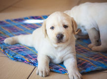 Cucciolo del labrador retriever che gioca a casa Fotografia Stock Libera da Diritti