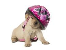 Cucciolo del labrador retriever con un casco fotografie stock libere da diritti