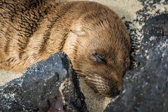 Cucciolo del leone marino di Galapagos addormentato sulla spiaggia Immagine Stock