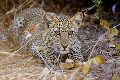 Cucciolo del leopardo Fotografie Stock