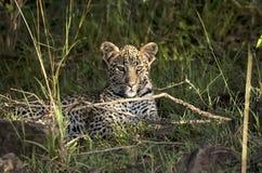 Cucciolo del leopardo Fotografie Stock Libere da Diritti