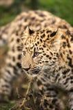 Cucciolo del leopardo dell'Amur Immagini Stock Libere da Diritti