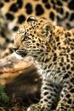 Cucciolo del leopardo dell'Amur Immagine Stock