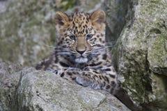 Cucciolo del leopardo dell'Amur Fotografie Stock