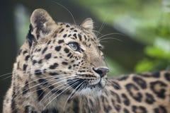 Cucciolo del leopardo dell'Amur Fotografia Stock