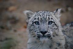 Cucciolo del leopardo delle nevi Fotografia Stock Libera da Diritti
