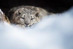 Cucciolo del leopardo delle nevi che riposa nella tana Immagini Stock