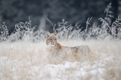 Cucciolo del lince nascosto in alta erba gialla con neve Fotografia Stock