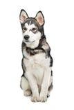Cucciolo del Malamute d'Alasca Fotografie Stock Libere da Diritti