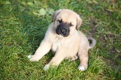 Cucciolo del mastiff spagnolo su un'erba Fotografie Stock Libere da Diritti