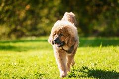 Cucciolo del Mastiff tibetano immagini stock libere da diritti
