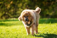 Cucciolo del Mastiff tibetano fotografia stock libera da diritti