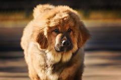 Cucciolo del Mastiff tibetano fotografie stock libere da diritti