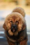 Cucciolo del Mastiff tibetano immagini stock