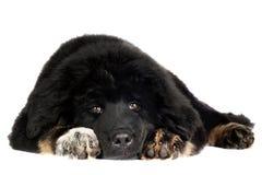 Cucciolo del mastino tibetano fotografia stock libera da diritti