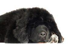 Cucciolo del mastino tibetano fotografie stock