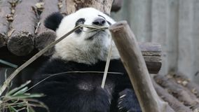 Cucciolo del panda a Chengdu, Cina video d archivio
