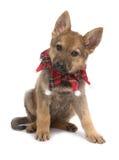 Cucciolo del pastore di Natale Fotografie Stock Libere da Diritti