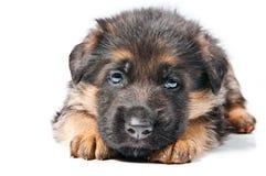 Cucciolo del pastore tedesco Fotografia Stock Libera da Diritti