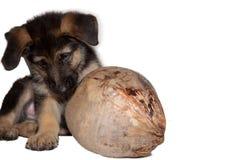 Cucciolo del pastore tedesco che gioca con la noce di cocco fotografia stock