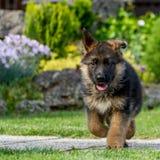 Cucciolo del pastore tedesco in un giardino Fotografia Stock Libera da Diritti