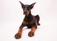 Cucciolo del Pinscher del Doberman isolato su bianco Fotografia Stock Libera da Diritti