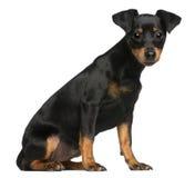 Cucciolo del Pinscher miniatura, 5 mesi, sedentesi Immagine Stock Libera da Diritti