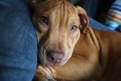 Cucciolo del pitbull fotografia stock libera da diritti