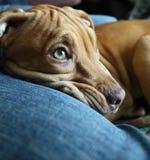 Cucciolo del pitbull Fotografie Stock Libere da Diritti