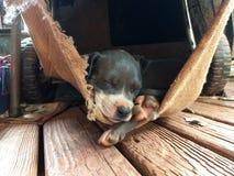 Cucciolo del pitbull addormentato fotografie stock libere da diritti
