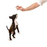 Cucciolo del pitbull che salta per l'ossequio Fotografie Stock