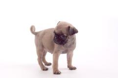 Cucciolo del Pug Fotografia Stock Libera da Diritti